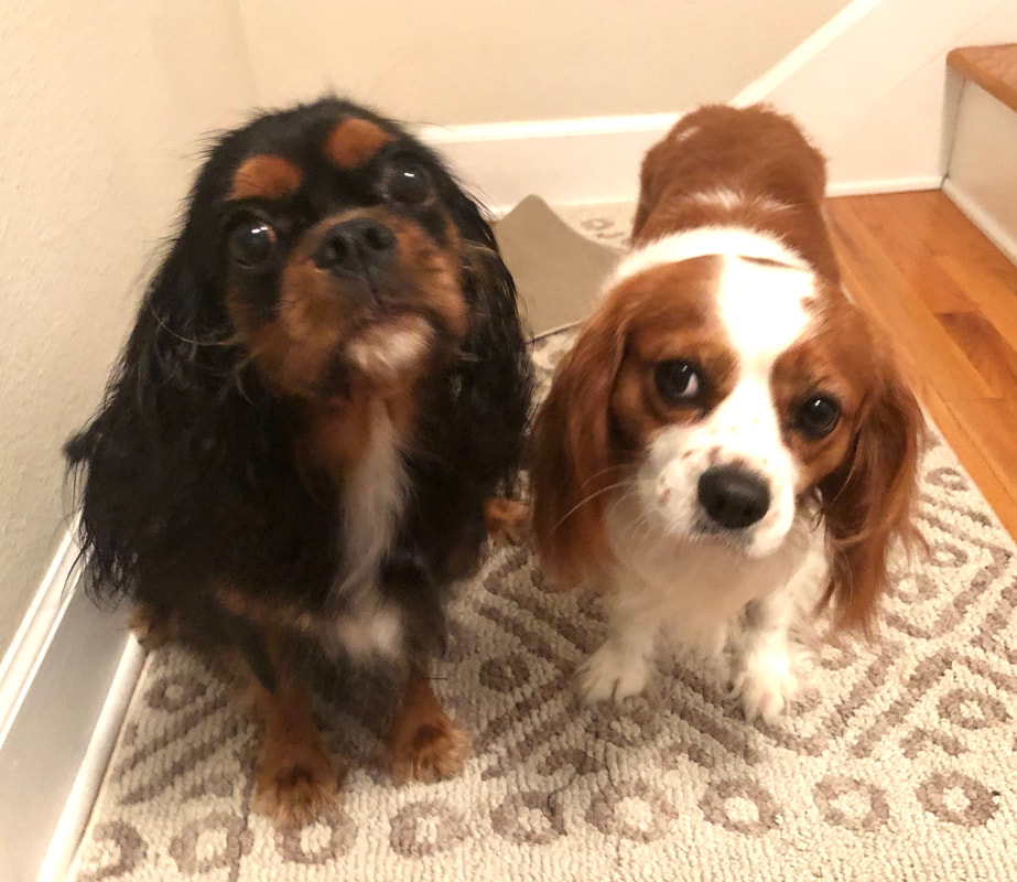 Cavalier Rescue of Florida